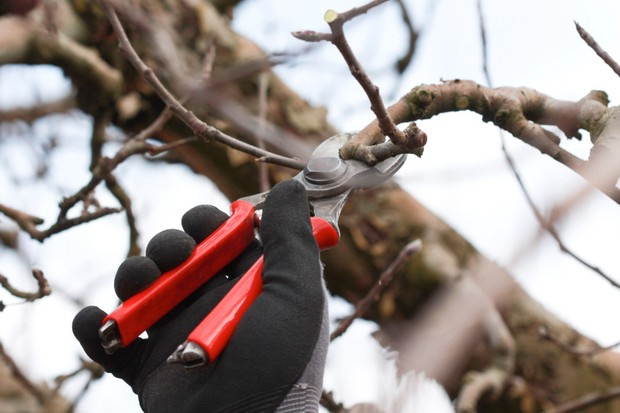 red handle secateurs pruning an fruit tree